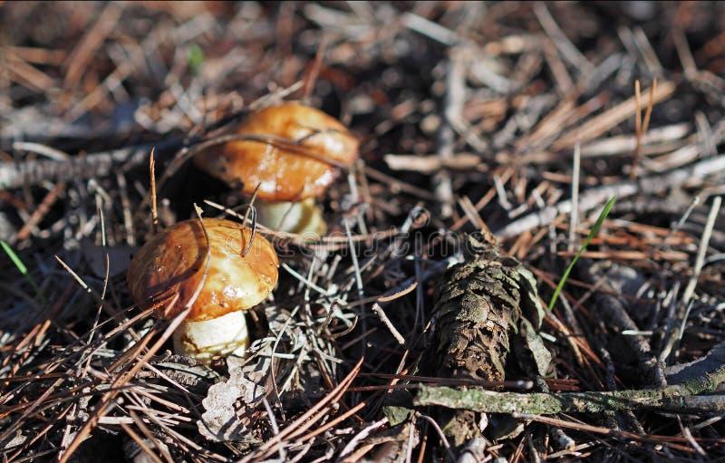 秋天时间:小溜滑起重器(牛肝菌类luteus)在杉木森林,西班牙里采蘑菇 库存图片