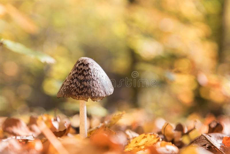 秋天晴朗的背景用鹊蘑菇在森林里 库存照片