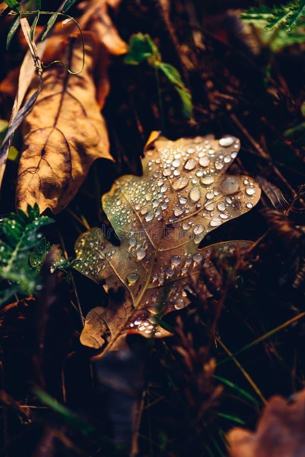 秋天有下落的橡木叶子 图库摄影