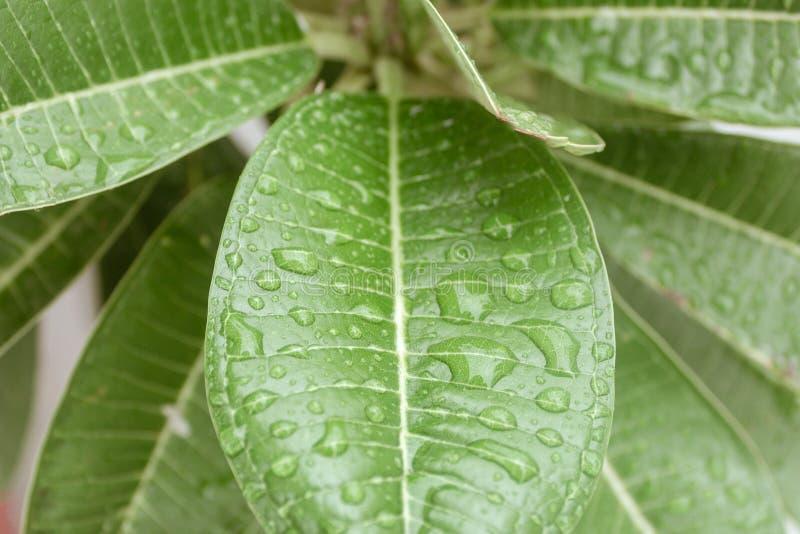 秋天有雨水的绿色叶子在他们 透明露水新下落在早晨阳光生气勃勃概念 ?? 免版税库存照片