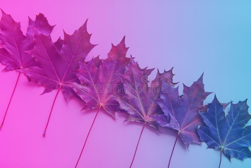 秋天枫叶在桃红色霓虹的颜色–,紫罗兰被定调子蓝色 免版税库存照片