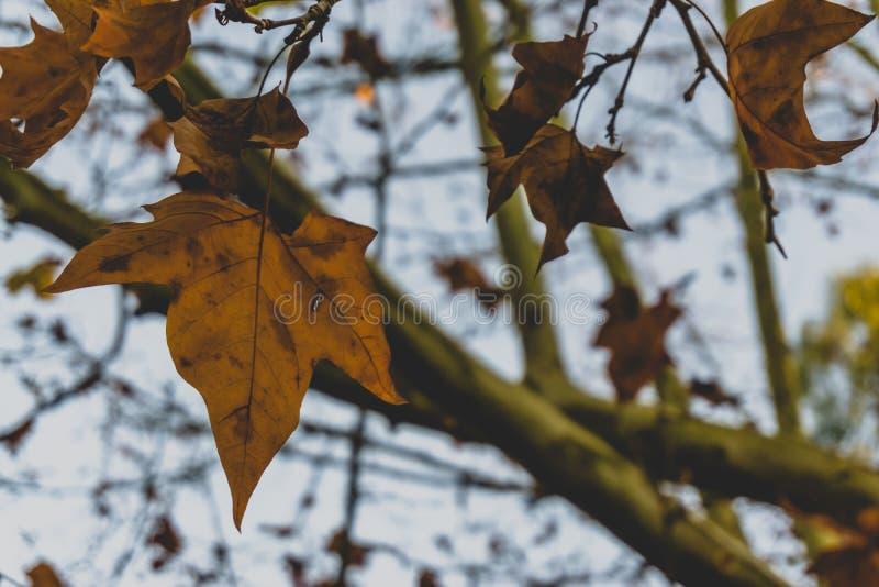 秋天枫叶在葡萄牙 免版税库存图片