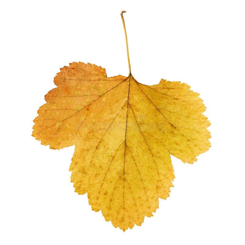 秋天染黄了被隔绝的叶子 库存图片