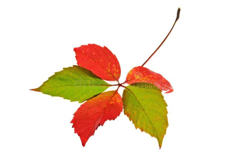 秋天查出的叶子 免版税库存图片