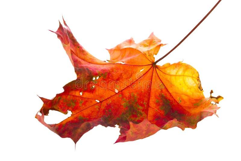 秋天查出的叶子 免版税库存照片