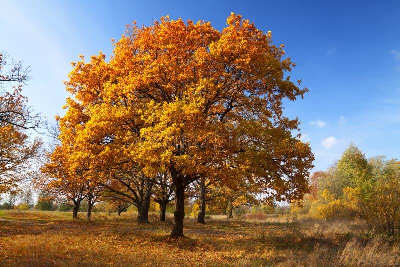 秋天树丛lanscape橡木 库存图片