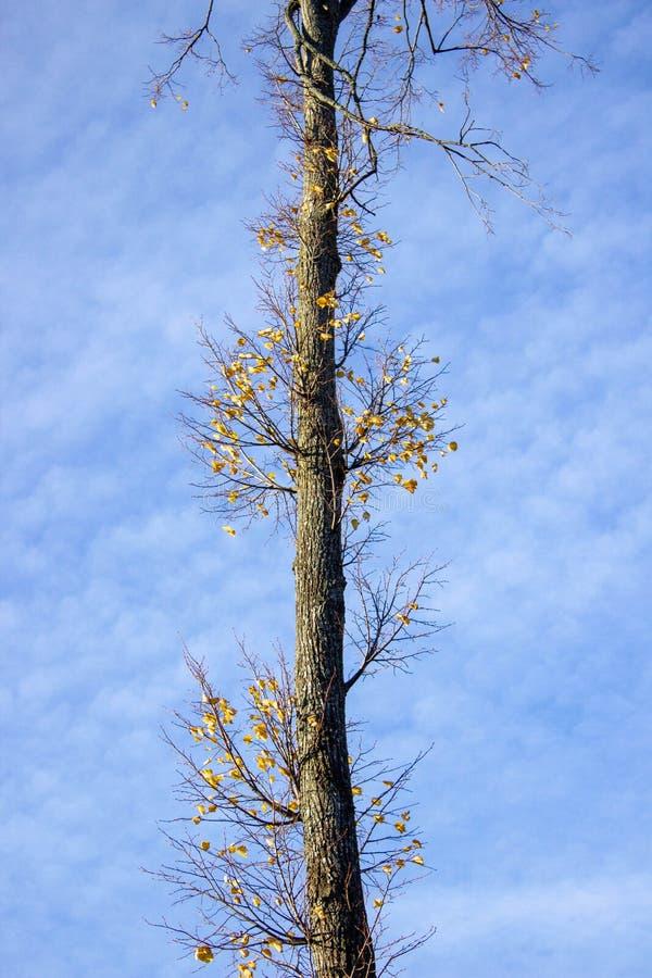 秋天树的树干与落叶的,反对天空 免版税库存图片