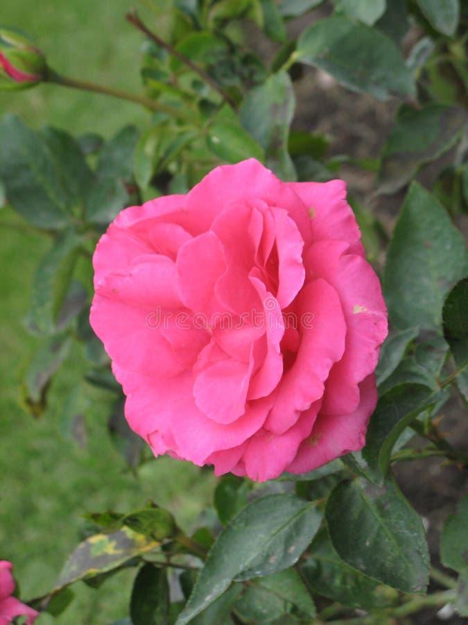 秋天桃红色玫瑰色花 免版税图库摄影