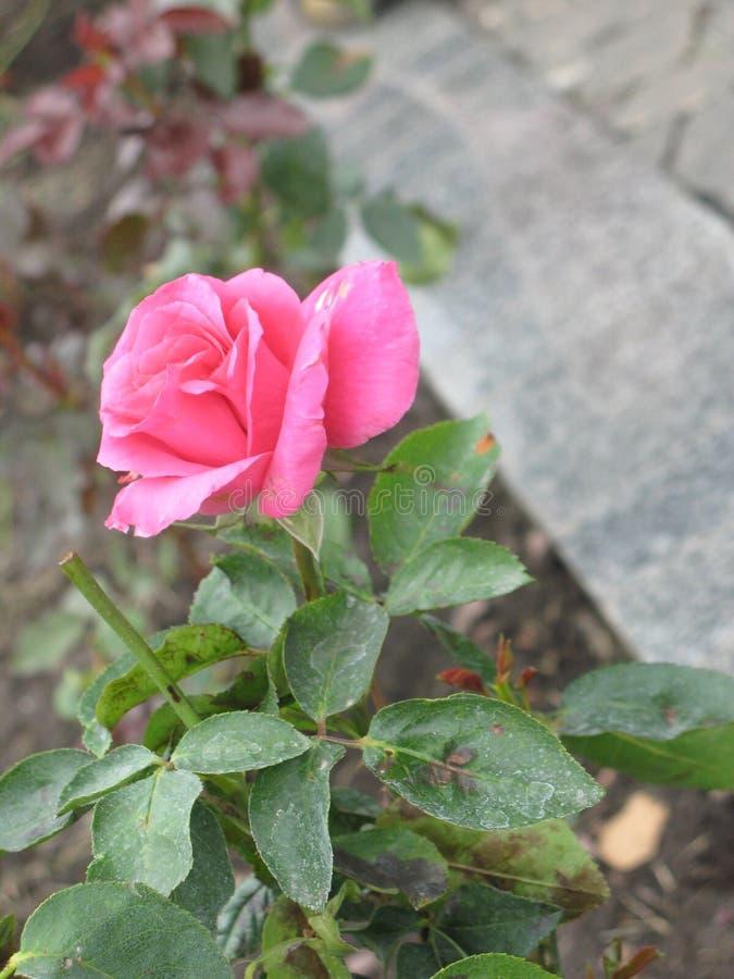 秋天桃红色玫瑰色花 免版税库存图片