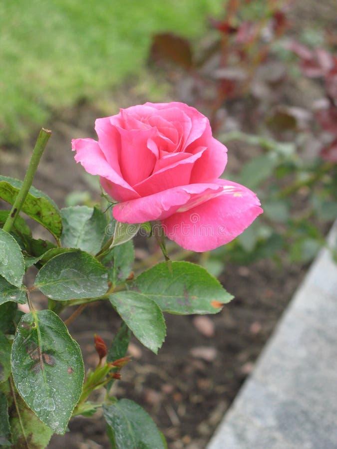 秋天桃红色玫瑰色花 库存照片