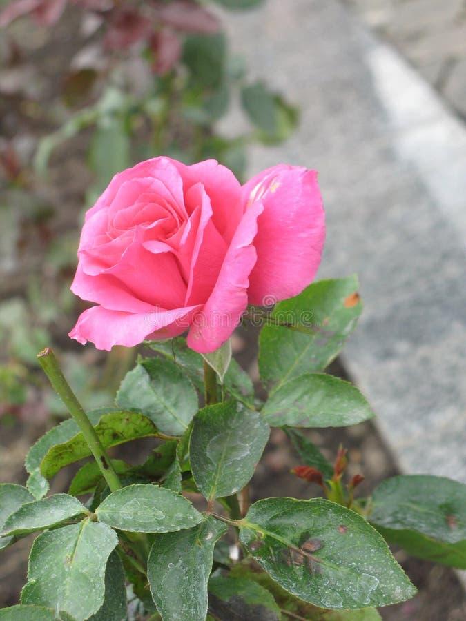 秋天桃红色玫瑰色花 库存图片