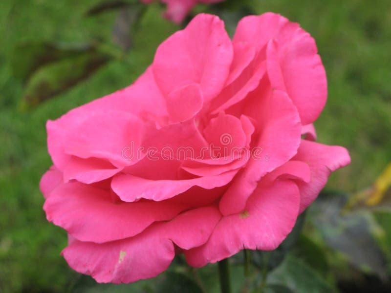 秋天桃红色玫瑰色花 免版税库存照片