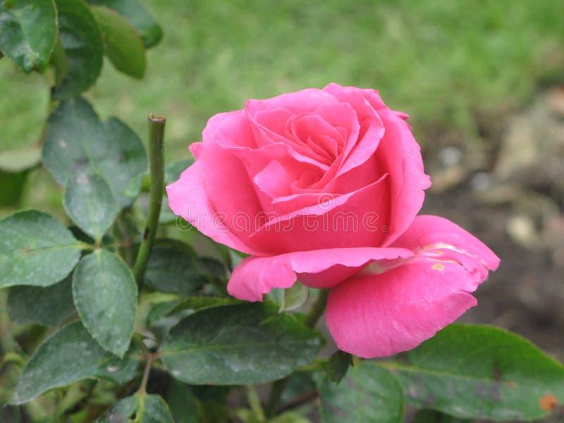 秋天桃红色玫瑰色花 图库摄影