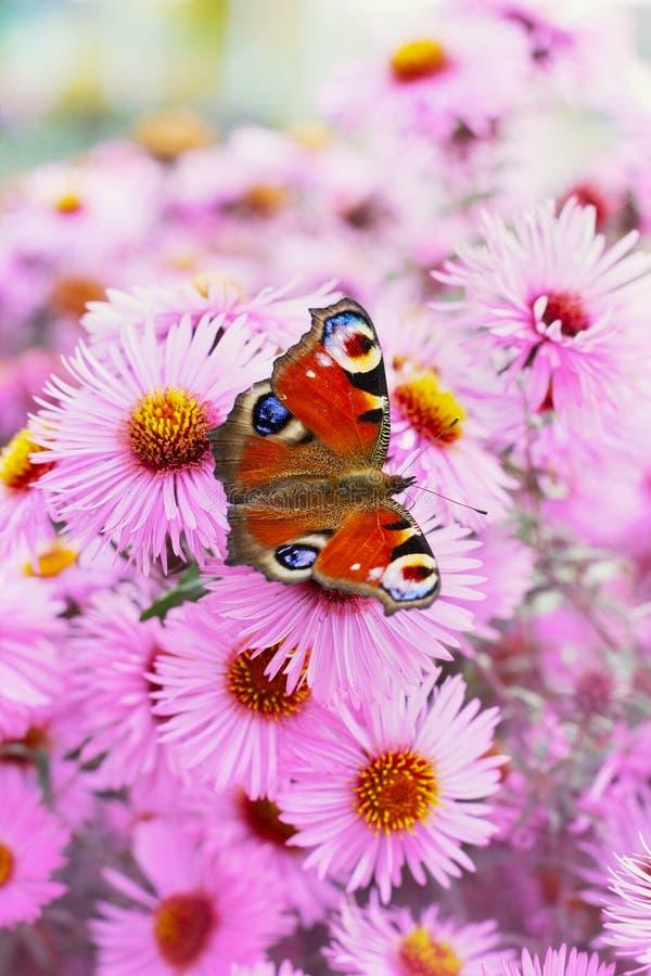 秋天桃红色菊花或翠菊开花与美丽的欧洲孔雀铗蝶的背景 免版税库存照片