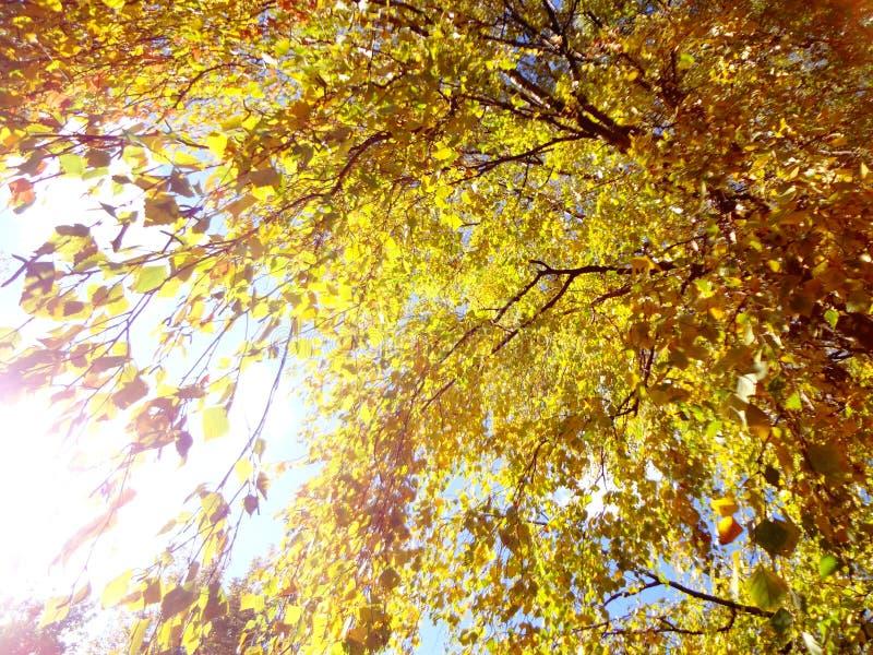 秋天桦树叶子在明亮的阳光下似乎金黄 免版税库存图片