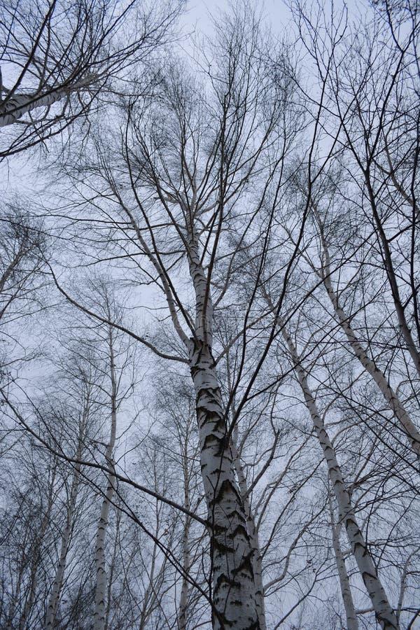 秋天桦树在多云天 免版税库存图片