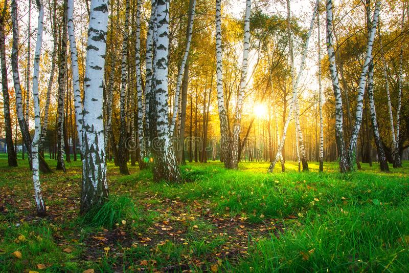 秋天桦树在明亮的阳光下 森林在日落的自然风景 库存照片