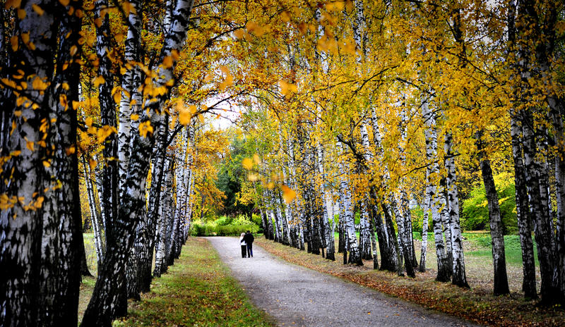 秋天桦树排行在Tolstoy庄园, Rusia的中央道路 库存照片