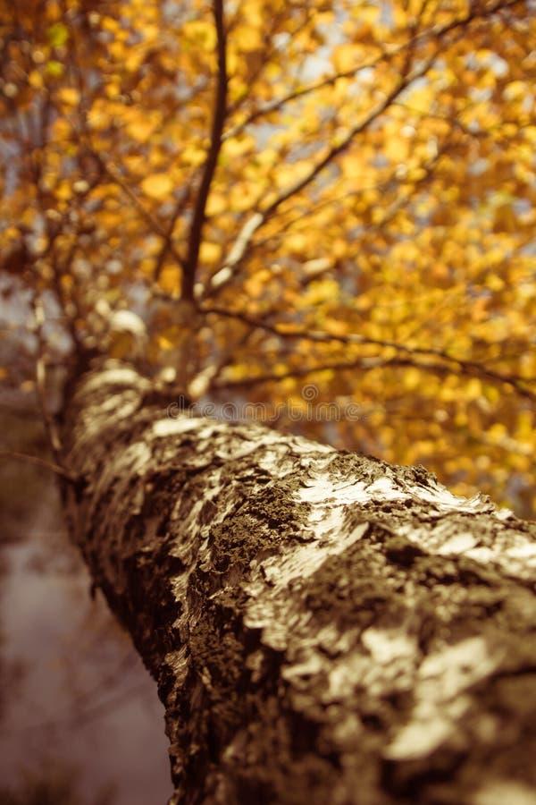 秋天桦树 库存照片