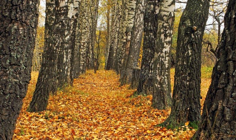 秋天桦树 库存图片