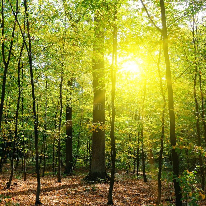 秋天森林、黄色叶子和日落 免版税库存照片