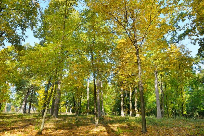 秋天森林和下落的黄色叶子 免版税库存照片