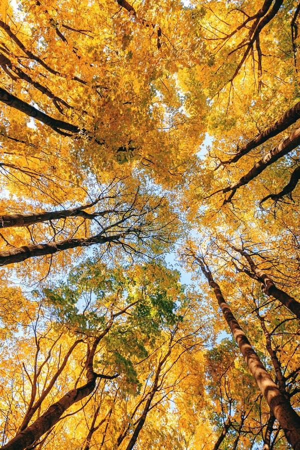 秋天森林由下往上的视图 加冠结构树 金黄秋天 库存照片