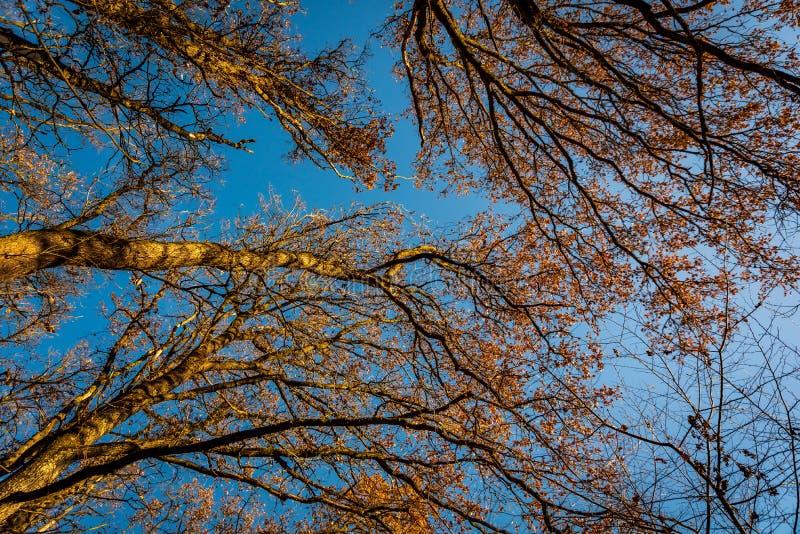 秋天森林由下往上的视图 加冠结构树 免版税图库摄影