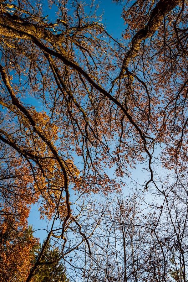 秋天森林由下往上的视图 加冠结构树 免版税库存照片