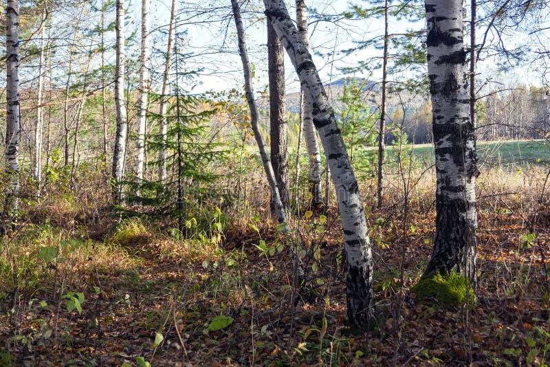 秋天森林自然 生动的早晨在有太阳光芒的五颜六色的森林里通过树分支  图库摄影