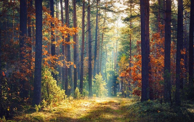 秋天森林自然 生动的早晨在有太阳的五颜六色的森林通过树分支发出光线 自然风景与阳光的 图库摄影
