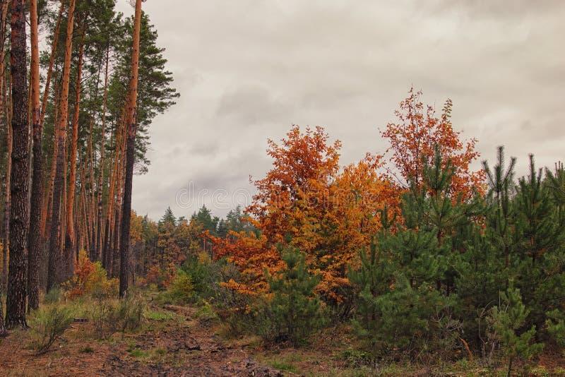 秋天森林金黄秋叶 多云天空 阴暗天气 库存照片