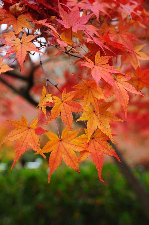 秋天槭树叶子在日本 图库摄影