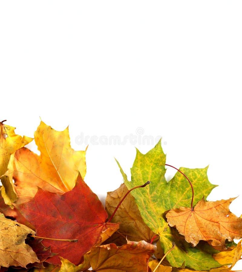 秋天槭树叶子背景 图库摄影