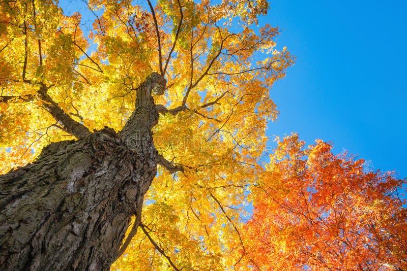 秋天槭树向上看法  库存图片