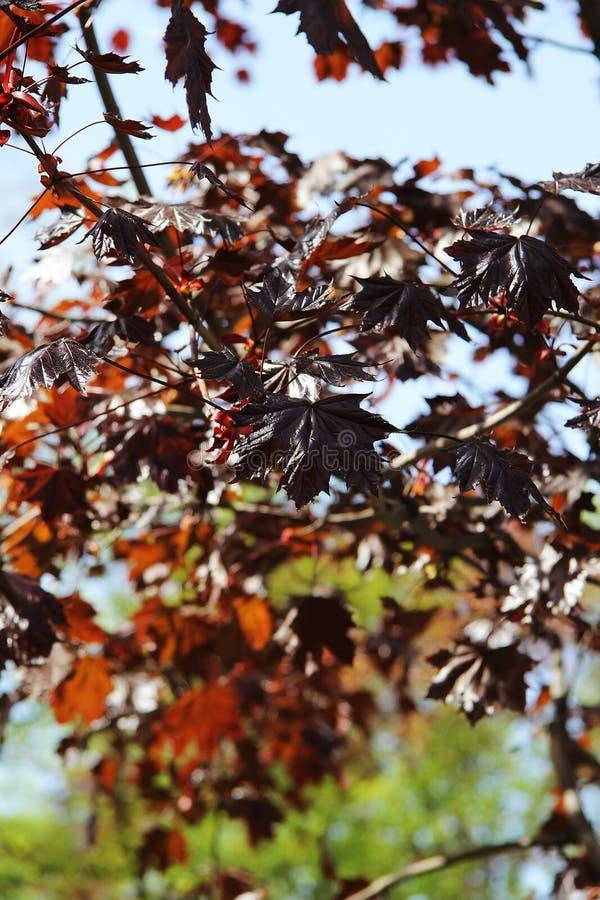 秋天槭树在公园 免版税库存照片