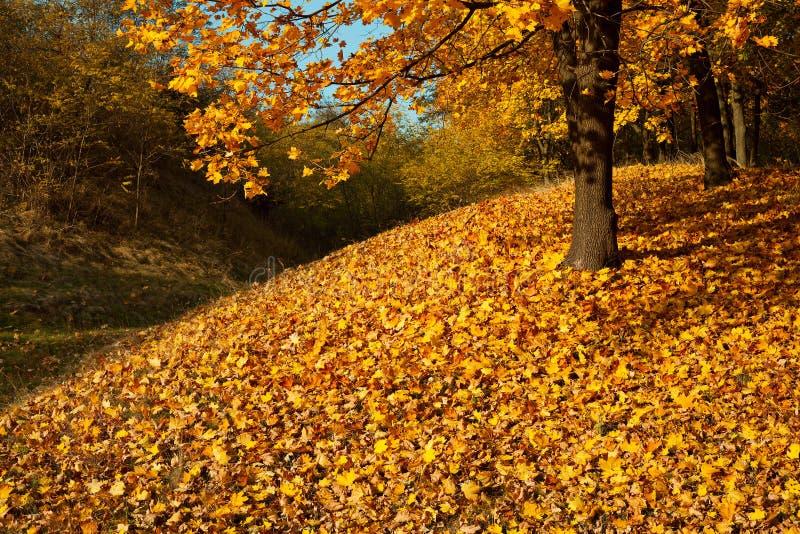 秋天槭树森林 库存图片