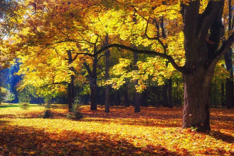 秋天横向 秋天蓝色长的本质遮蔽天空 秋天场面 黄色叶子盖的公园 平静的背景 五颜六色的森林在阳光下 免版税库存图片