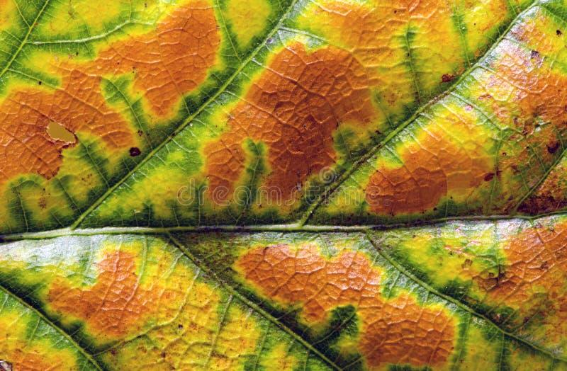 秋天橡木叶子五颜六色的背景 库存图片