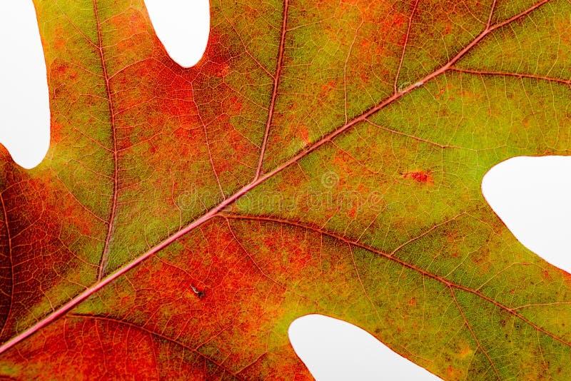 秋天橡木叶子宏指令 免版税库存照片