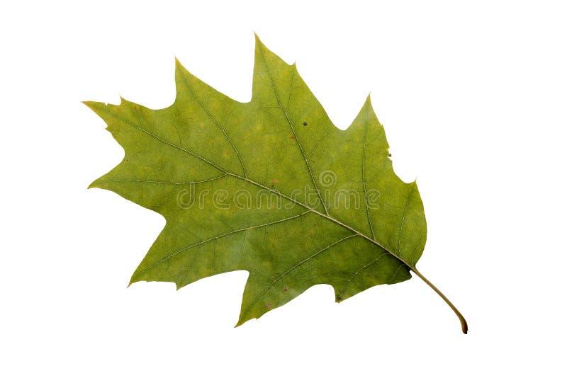 秋天橡木叶子 库存照片