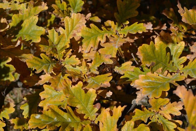 秋天橡木叶子 免版税库存照片
