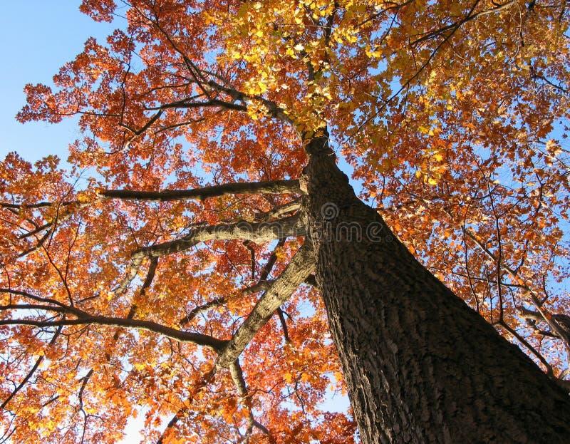 秋天橡木老结构树 免版税库存照片