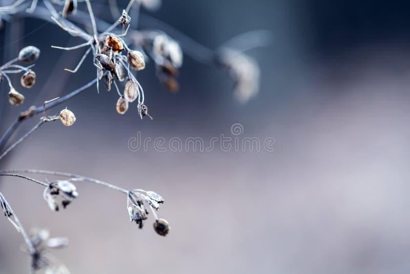 秋天淡色和宏观射击的变干的植物山罗卜森林 日落草甸背景 库存图片