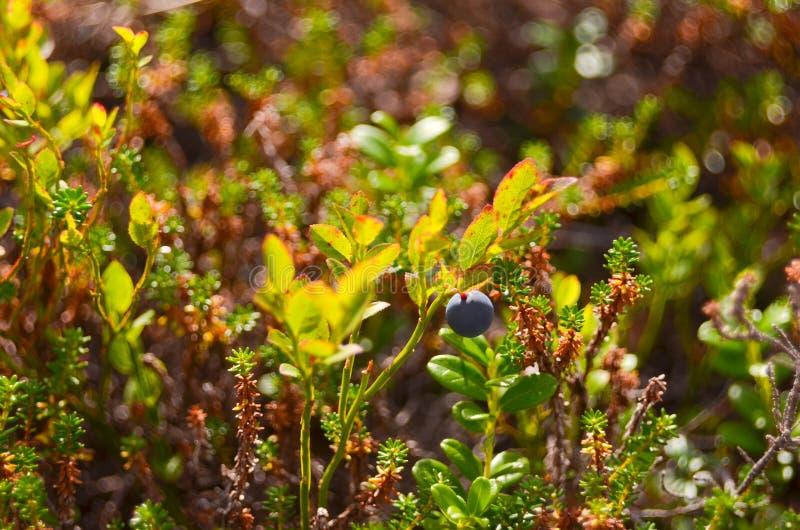 秋天灌木用蓝莓离开现场 红色秋叶和黑莓果关闭  秋叶在秋天森林公园 库存图片