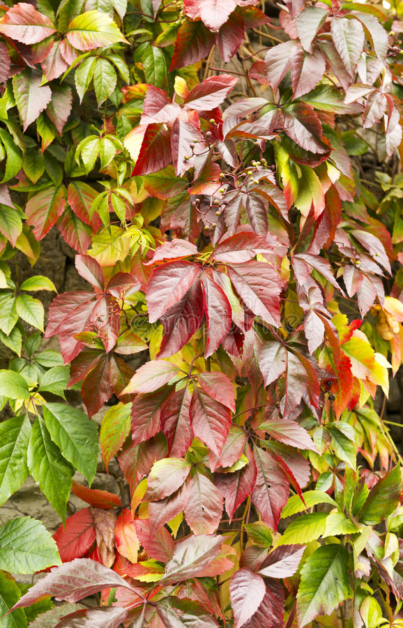 秋天狂放的葡萄离开,自然季节性背景 图库摄影