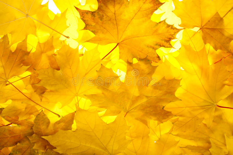 秋天留下槭树 图库摄影