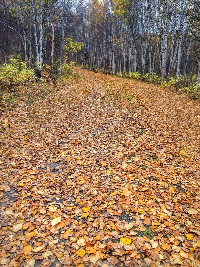 秋天留下覆盖着绞的森林道路,阿尔伯塔,加拿大 免版税库存照片