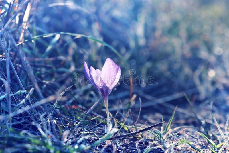 秋天番红花在北黑海地区 库存照片