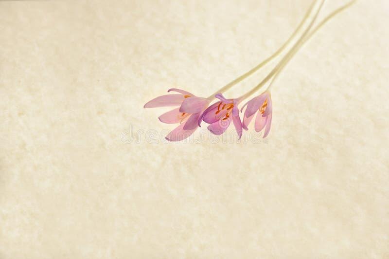 秋天番红花 库存图片